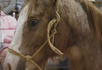 52_HorseAuction_015123040_146_100.png